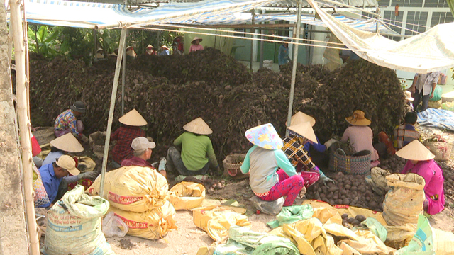 Mekong Delta district expands sweet-potato cultivation for export