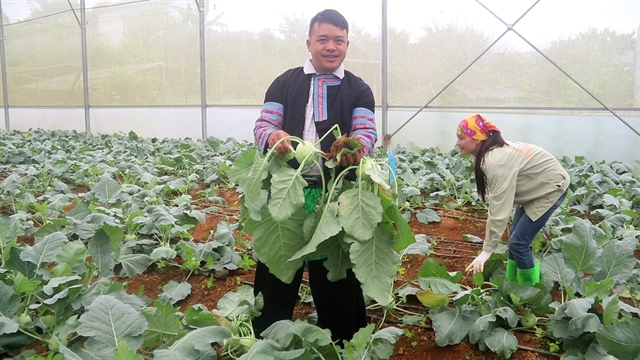 Vegetables and revenues are growing strong in Vân Hồ District