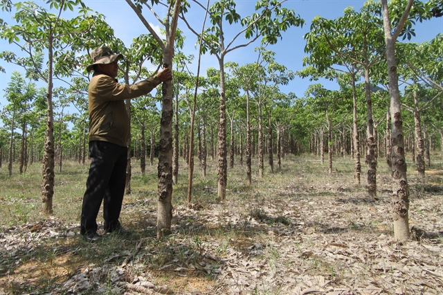 Java olive trees offer Ninh Thuận farmers high incomes increase forest cover
