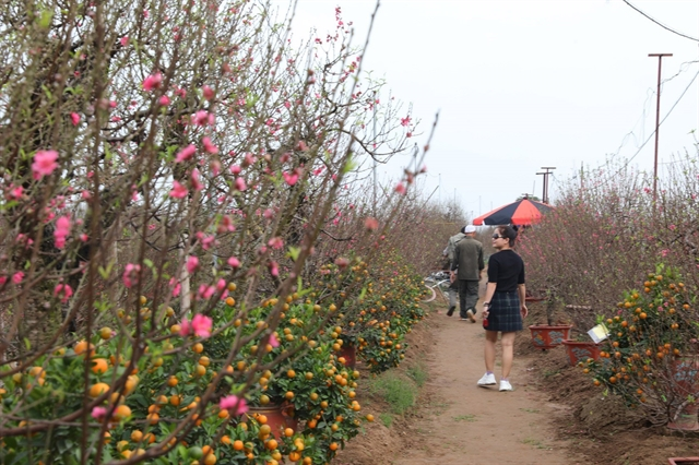 Peach kumquat tree growers busy ahead of Tết
