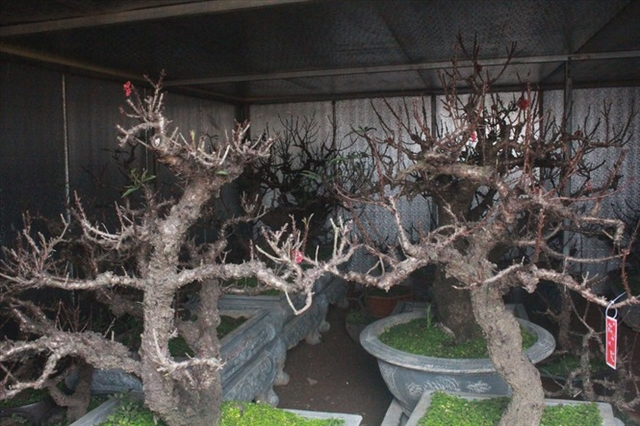 Peach blossom bonsai grower shows the value of persistence