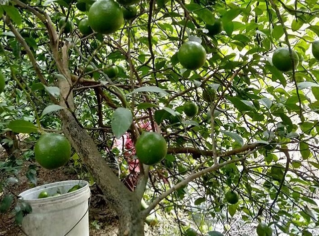 Fruitprices from Mekong Delta rise