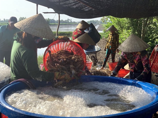 Kiên Giang expands lucrative shrimp-breeding models