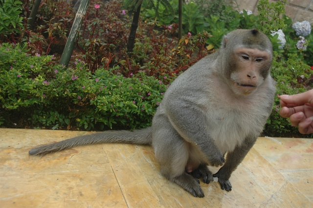 Đà Nẵng City urges protection of endangered primate population