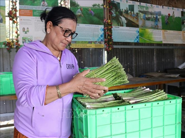 Chăm uses asparagus to lift community out of poverty