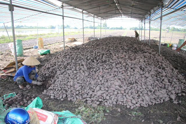 Mekong district produces high-quality sweet potatoes for export
