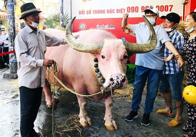 Large pink bull in Củ Chi District captivates locals