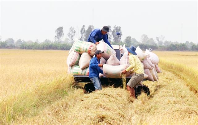 Mekong Delta has excellent winter – spring rice crop
