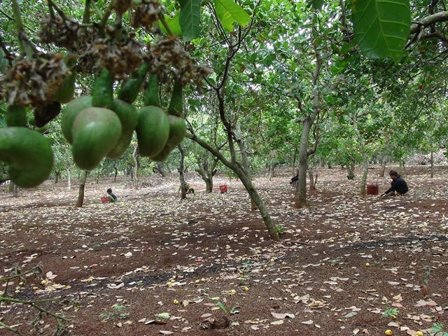 Poor harvest falling prices: double whammy for cashew farmers