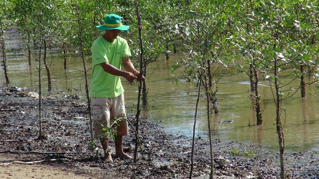 Shrimp-breeding in mangroves protects forest cover offers stable income
