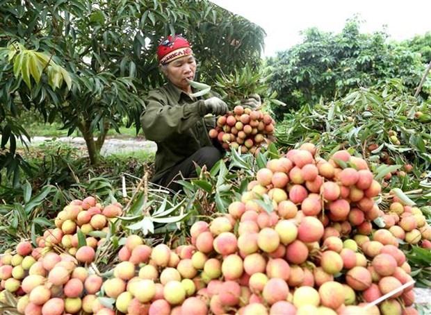 Hải Dương prepares to introduce Thiều lychee on e-commerce platforms
