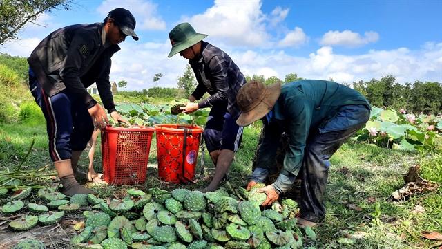 Thừa Thiên-Huế Provinceaims to build a lotus brand