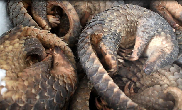Man handed five years imprisonment for storing 780kg of African pangolin scales