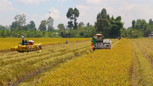 Mekong Delta sees bountifulsummer – autumn rice crop despite impact of pandemic