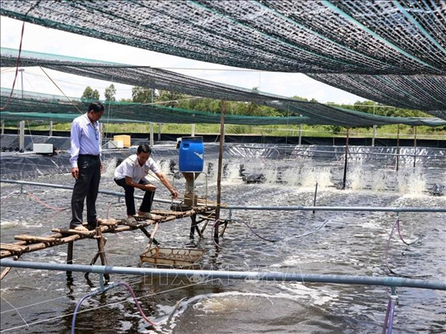 Cà Mau to penalise shrimp breeders causing environmental pollution