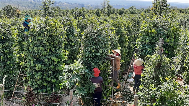 Agricultural expansion in Gia Lai adds value to productsincreases farmers incomes