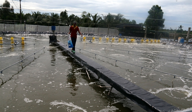 Kiên Giang to provide traceability codes to brackish water shrimp farms
