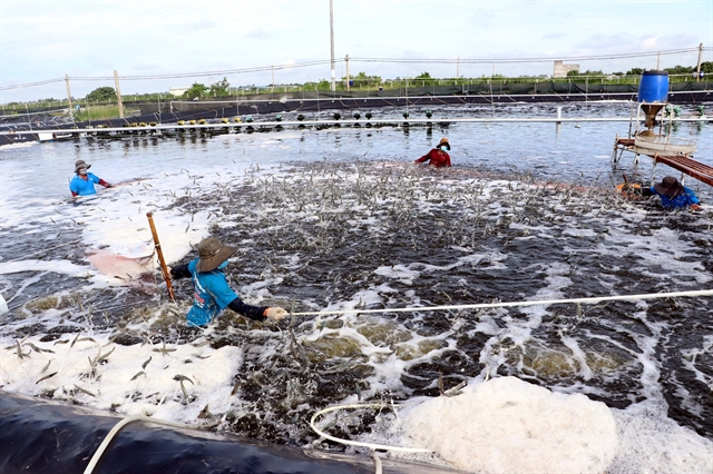 Production code paves the way for shrimp exports: Official