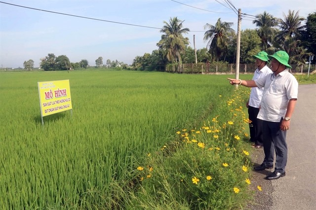 Mekong Delta district to grow only high-quality rice targets exports