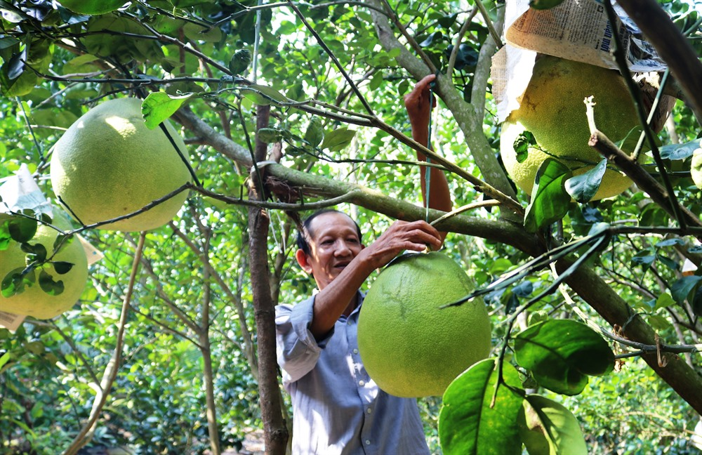 Farmers in Tiền Giang grow more fruit adapt to climate change