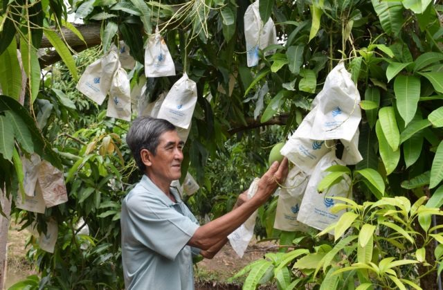 Mekong Delta province to expand area under mango
