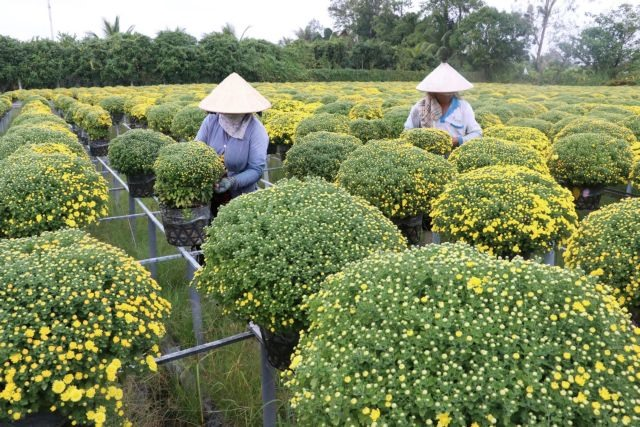 Mekong Delta farmers expect good harvest of Tết flowers