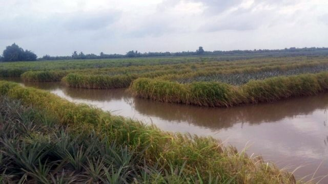 Farmers earn high incomes from pineapple shrimp and rice cultivation on same field