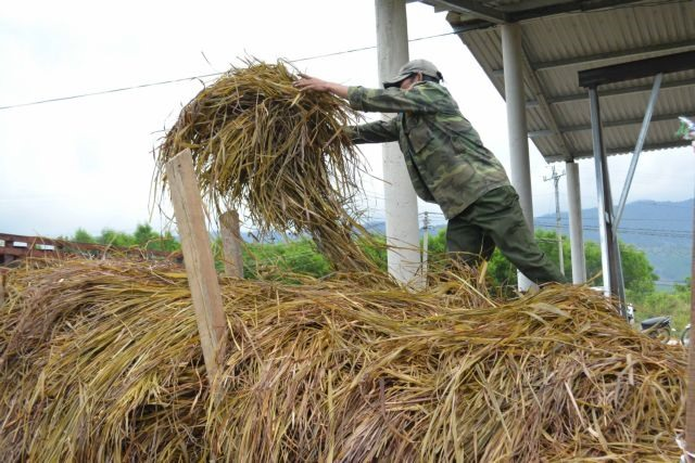 Farmers switch to lemongrass cultivation