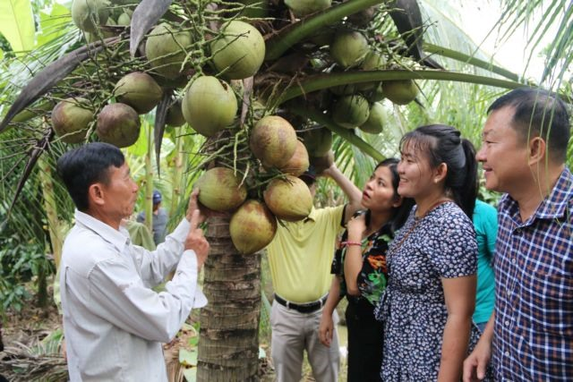 Trà Vinh expands organic coconut cultivation