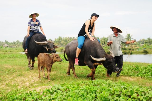 Buffalo tours in Hội An prove a hit