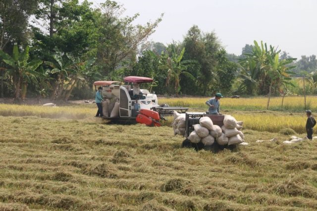Tiền Giang stops growing three rice crops a year in coastal areas to cope with climate change