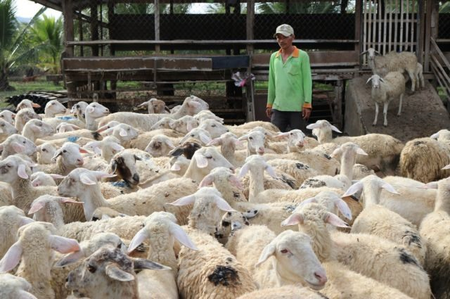 Ninh Thuận raises baa for sheep farming