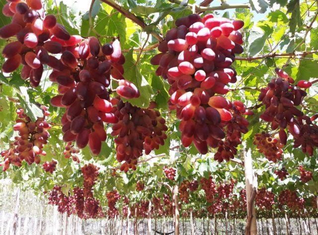 Ninh Thuận develops more grape varieties