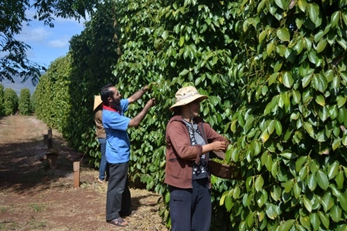 Farmers want pepper futures trading