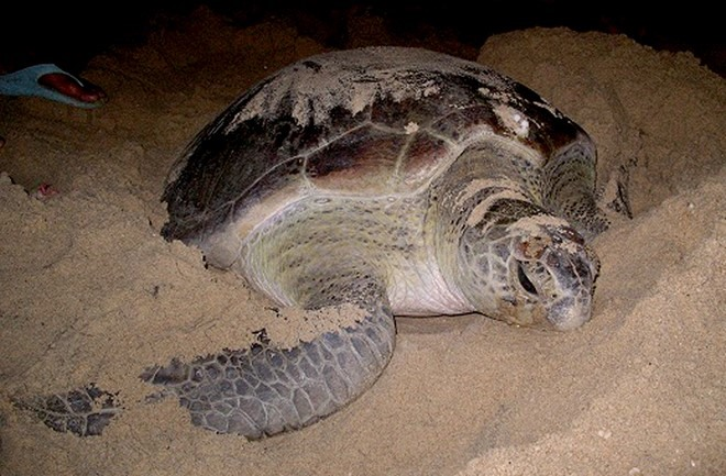 Turtle laying her eggs? Privacy please