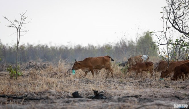 Thousands of chickens cows die from drought