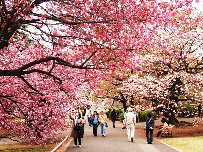 Đà Nẵng will host first Japanese cherry blossom festival