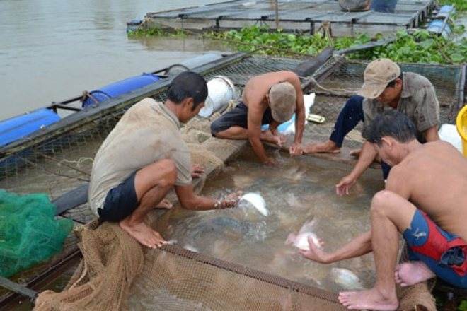 Chasing fish and the truth in Southern VN