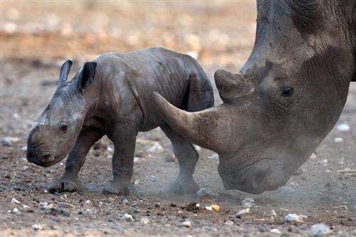 VN cuts demand for rhino horn