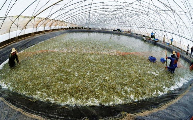 MARD submits plan to develop shrimp industry