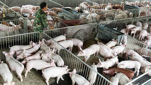 Preparations made for swine fever