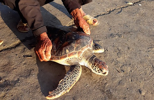 Rare sea turtle released back into ocean