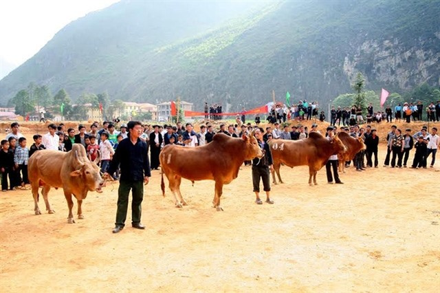 Hà Giang beef receives geographical indication