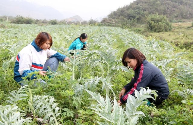 Lào Cai wants thriving medicinal herb production