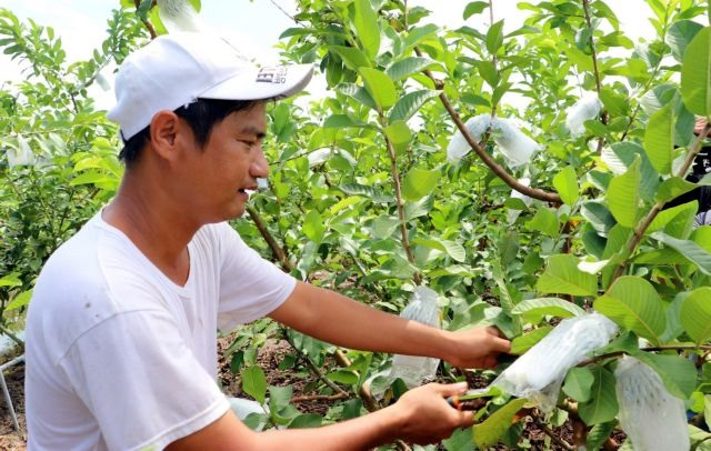 Farmer earns high income fromguava trees planted in acid soils