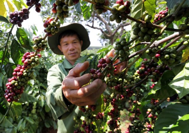118202ha of old coffee trees replaced in Central Highlands