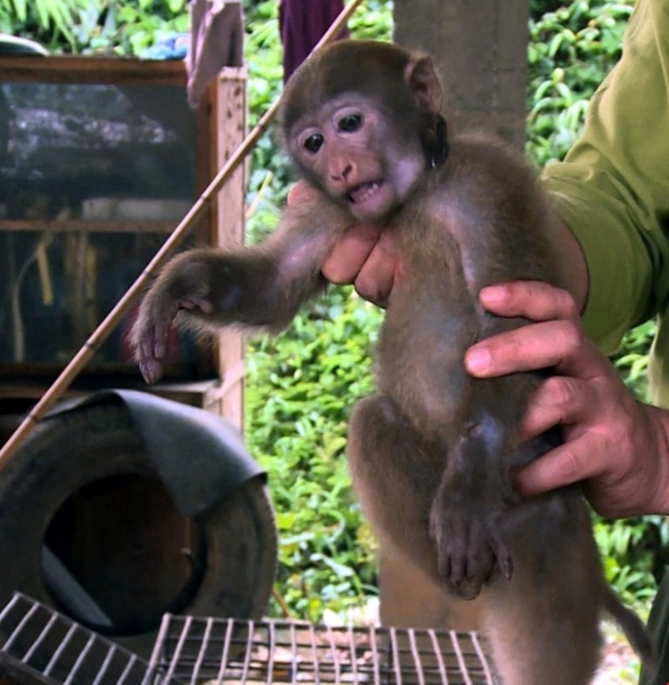 Rare primate returned to nature in Tuyên Quang