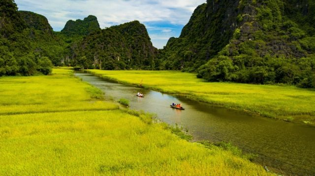 Yellow floating rice fields await tourists this week