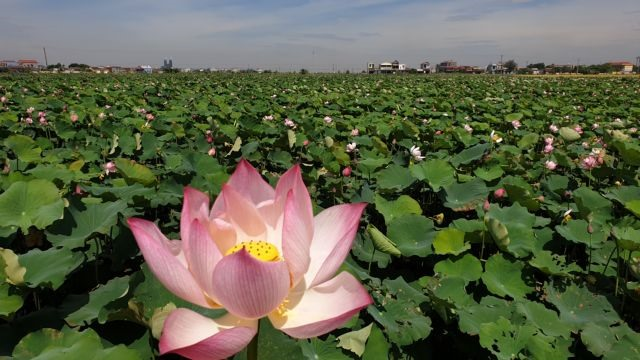 Unfertilised soil used to grow lotus