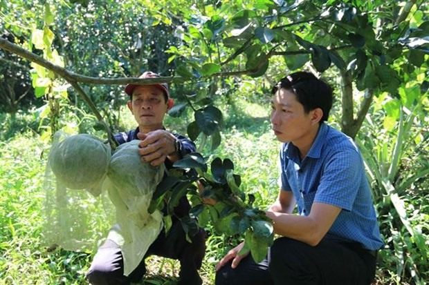 Farmers earn high income from VietGAP-quality grapefruit